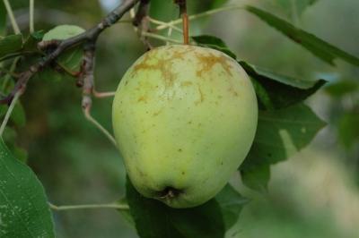 mela-culo-dasino2